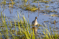 Wood Sandpiper stand among the blade of grass in a wetland