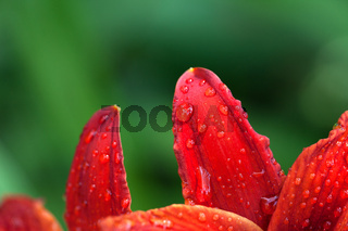 Petals of red lily flower with water drops
