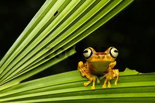 Imbabura Laubfrosch, Choco forest, Ecuador
