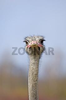 Strauß (Struthio Camelus)