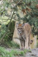 Puma,Puma concolor, Puma