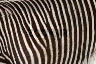 ZebraZebra, Equus, zebra