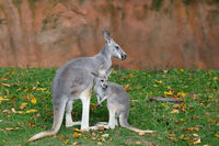 Red kangaroo, Megaleia rufa with baby