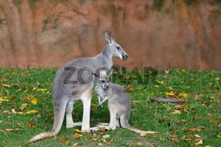 Red kangaroo, Megaleia rufa with baby