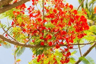 flowers of delonix regia or flame tree outdoors