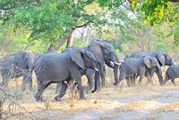 Elefantengruppe beim überqueren der Strasse