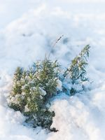 Herbs under snow in home garden. Winter lavender