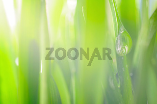fresh wet grass in sun rays, closeup, focus on big drop