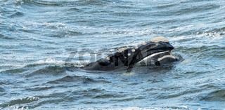 Southern Right Whale Surfaces