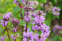 Brandkraut, Phlomis maximowiczii - Phlomis maximowiczii a purple wildflower