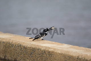 A pied kingfisher in the Kruger National Park south Africa