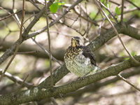 Fieldfare fledgling