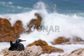 Kapkormoran, Kapscharbe am Stony Point, Südafrika, Cape cormorant, South Africa