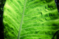 Rain drops on the green leaf