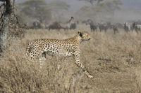 male cheetah running through bush savanna on background ungulate herds