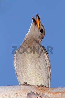 Great Bowerbird, Australia