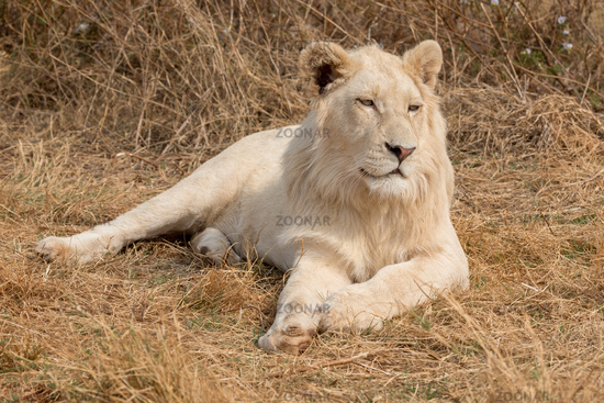 White Lion South Africa