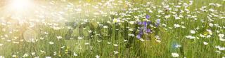 Frühlingswiese mit vielen Blumen
