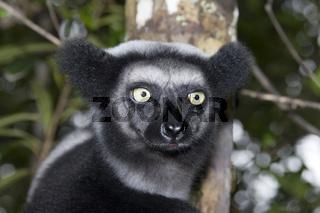 Indri, Indri Indri, Madagaskar, Afrika, Babakoto, madagascar, africa