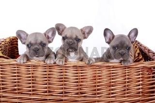 drei französische Buldogge Welpen im Korb - french bulldogge puppy