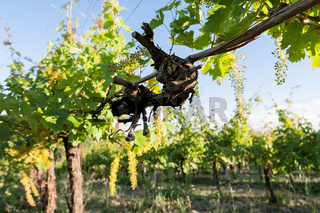 Trunk of vine in the vineyard
