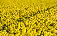 Feld mit gelben Tulpen, Bollenstreek, Niederlande