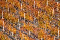 Autumnal vineyard close-up.