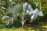 Palms Trachycarpus Fortunei Medellin
