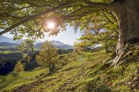 Goldener Oktober und Herbst im Buchenwald mit Sonnenstrahlen