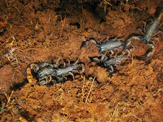 Juveniles of Emperor Scorpion, Pandinus imperator, Satara, Maharashtra