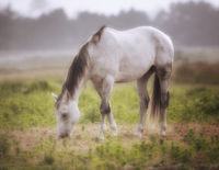 Horse in a Pasture on a Foggy Day Northern California, USA