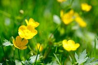 yellow buttercup in green grass