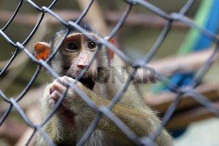 Monkey in captivity