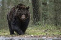 am Waldrand... Europäischer Braunbär *Ursus arctos*