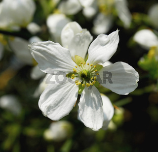 poncirus trifoliata blüten