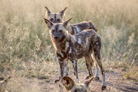 African wild dogs standing in the grass.