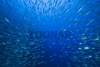 Grosser Schwarm Heringsmakrelen, Decapterus maruadsi, Ulong Channel, Mikronesien, Palau, Shoal of Mackerel Scads, Micronesia