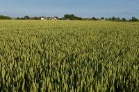 Green rye field