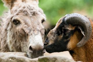 Tierfreundschaften Mufflon und Esel