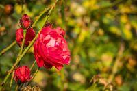 Rosenblüte im Herbst