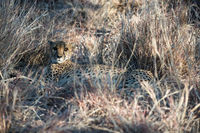 A cheetah is lying and hiding in dry winter savanna grass
