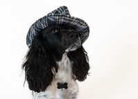 Beautiful female spaniel in a checkered hat on white background