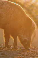 closeup of large wild boar at dawn ( Sus scrofa )
