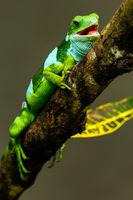 Male Fiji banded iguana (Brachylophus fasciatus) on Viti Levu Island, Fiji.