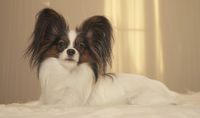 Young dog breeds Papillon Continental Toy Spaniel lies on bed
