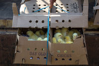 Box of day old chicks