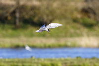 Common Tern hover over a lake