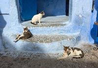 Cats on blue street in Medina Chefchaouen