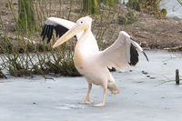 Pelican standing on ice
