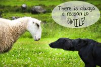 Dog Meets Sheep, Quote Always Reason To Smile